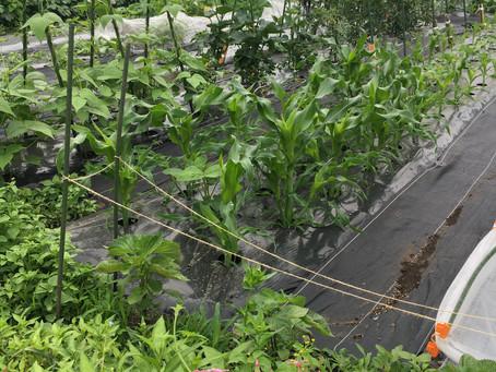 今朝の自家菜園の様子。収穫始まり!