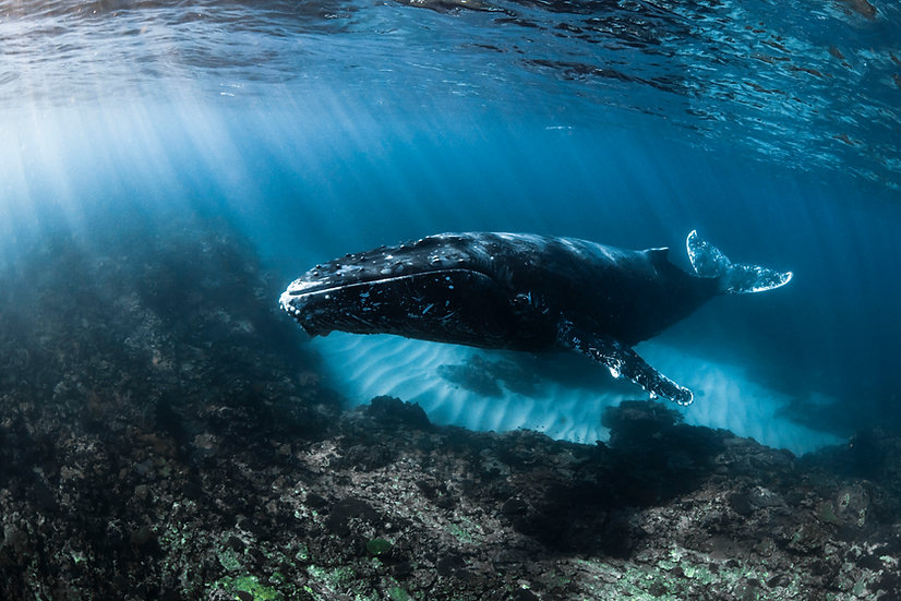 Humpback In The Shallows