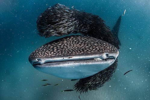 Whale Shark Feast