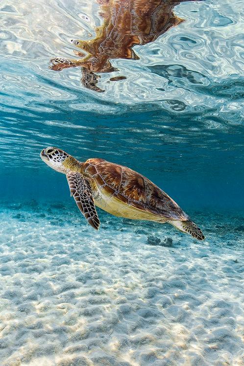 Turtle Swims, Indonesia