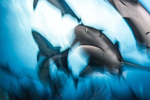 The Caribbean Reef Shark