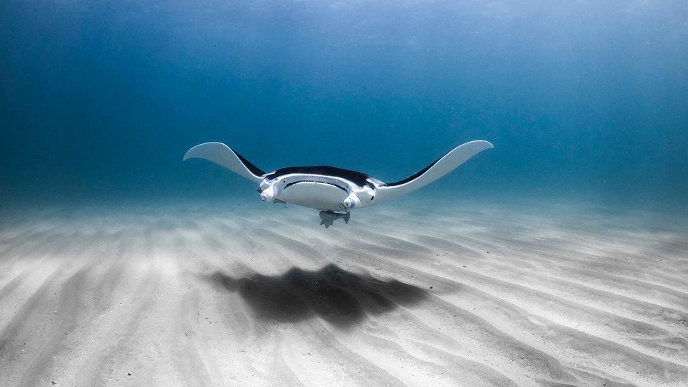 Manta Ray, Coral Bay