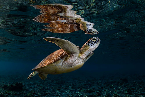 Turtle Reflections