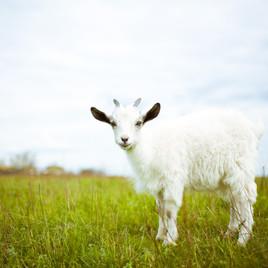 FIRE: Goats