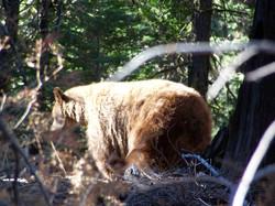 Yosemite Black Bear
