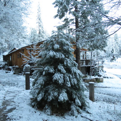 Snow Covered Young Sequoia Tree