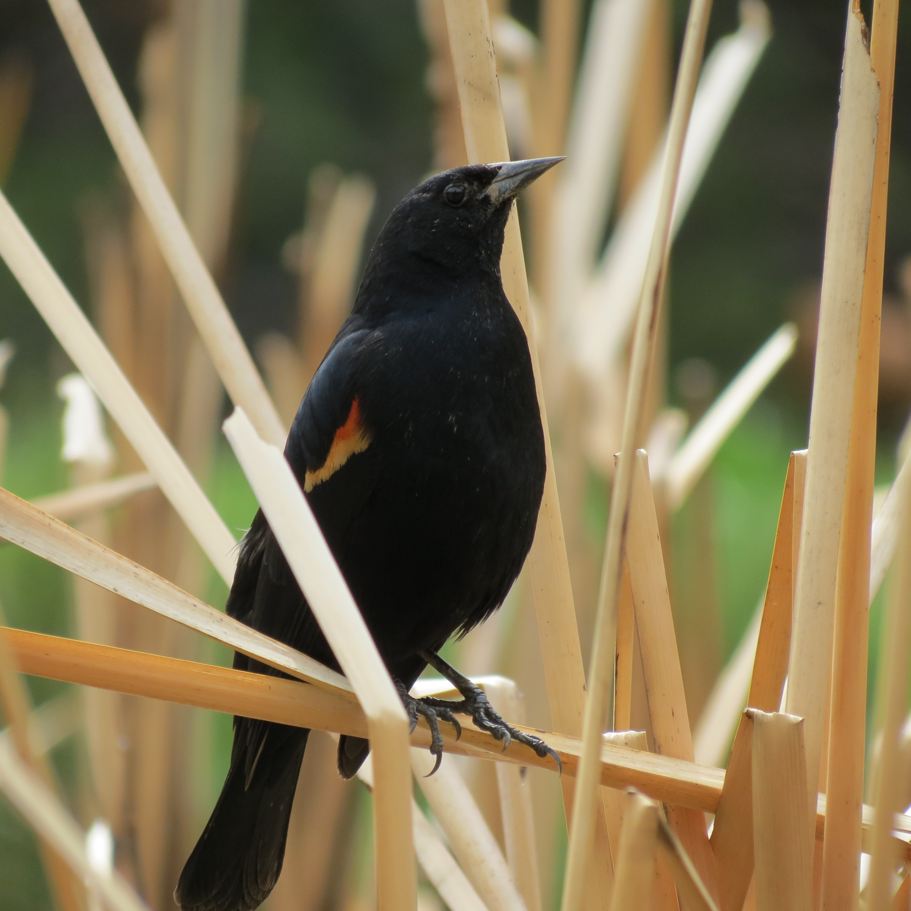 Red Wing Black Bird in our Pond