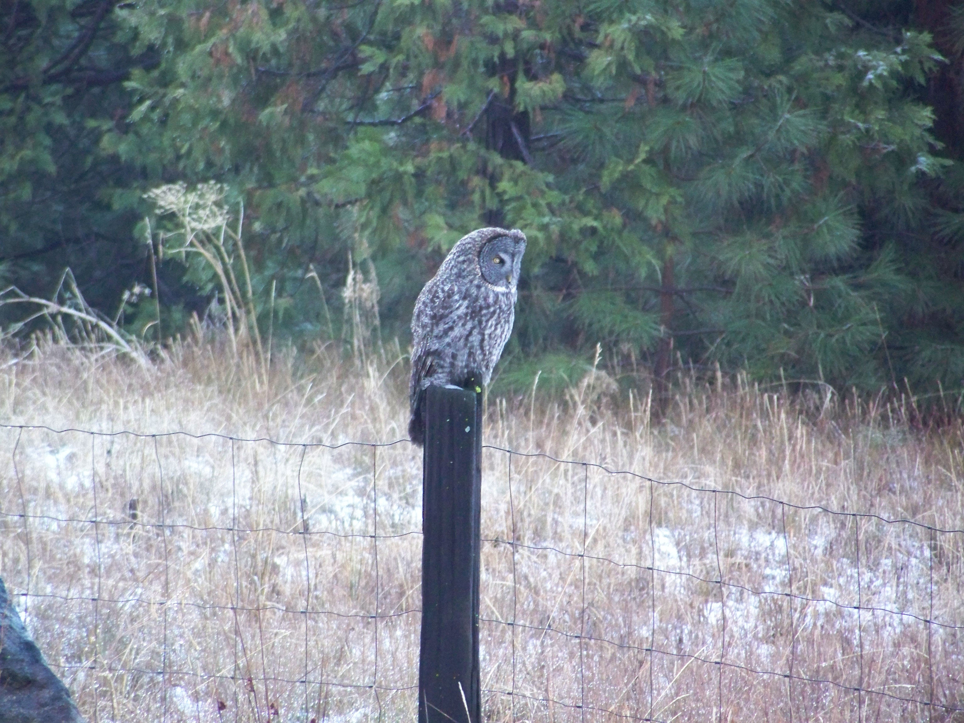 Great Gray Owl in the Meadow