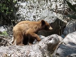 Bear at Hetch Hetchy