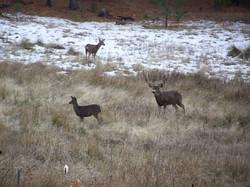 Deer in our Meadow