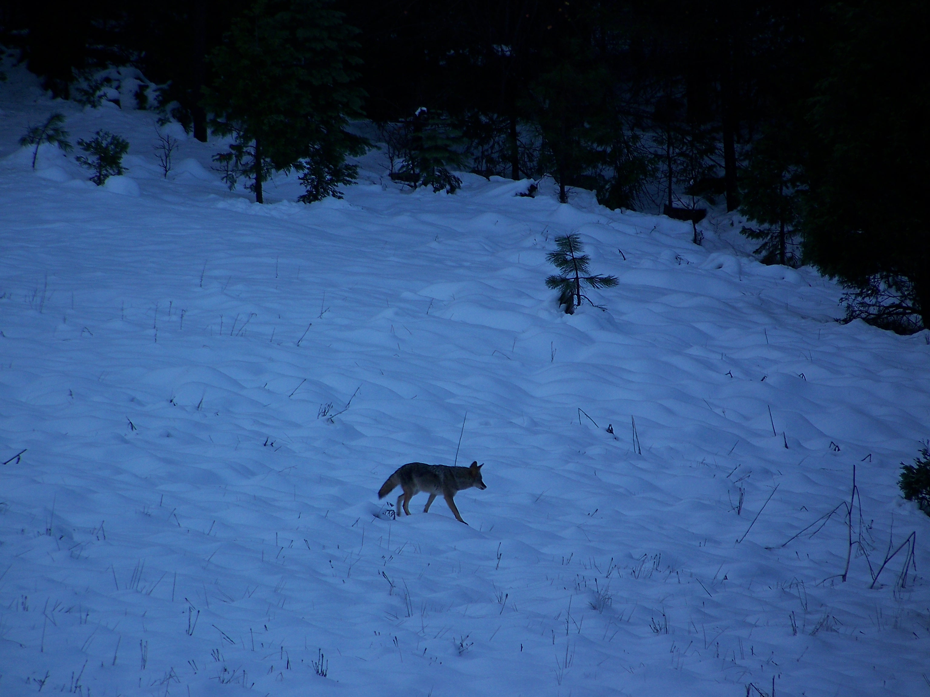 Coyote in our Snow Covered Meadow