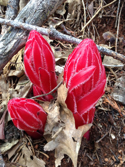 Snow Plant in Bloom