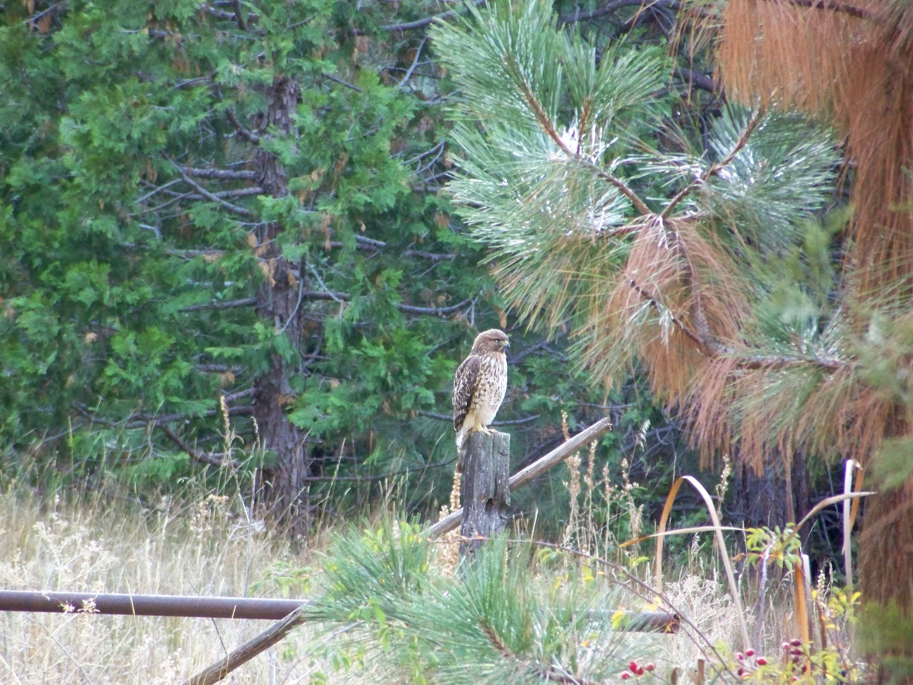 Sharp-Shinned Hawk in Meadow