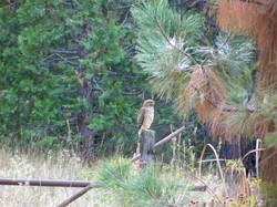 Sharp-Shinned Hawk in Meadow