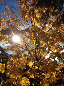 Sun Peaking through Maple Tree