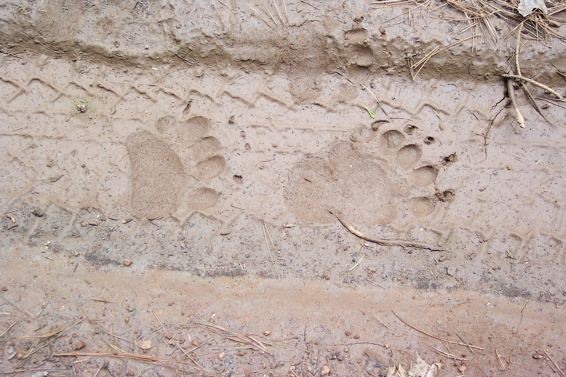 Bear Paw Prints