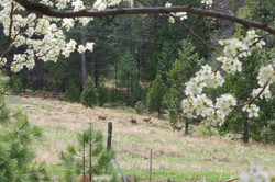 Mule Deer with Plum Blossoms