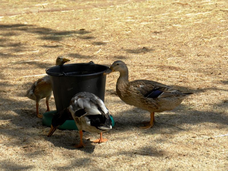 Windsorcastle 3 Auch die Enten spielen mit