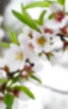 almond branch 2.jpg