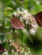 圖8.吸食台灣澤蘭密汁紫斑蝶.jpg