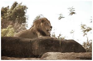 Lion on Velte
