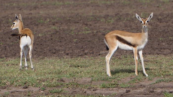 safari 51