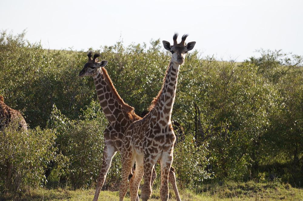 Safari 10