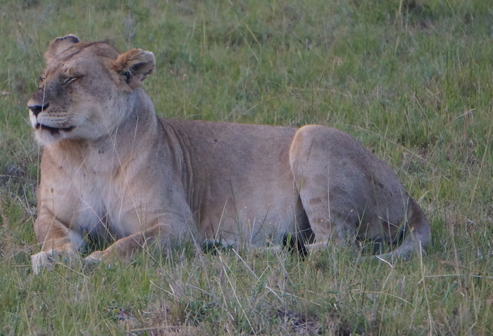 safari 39