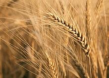 Active ingredient oat reconstruction Re-mersive Family