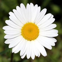 Chamomile active ingredient dedicated to the little ones Tommy Family