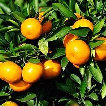 Active ingredient anti-yellow mandarin