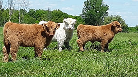 Calves 2021