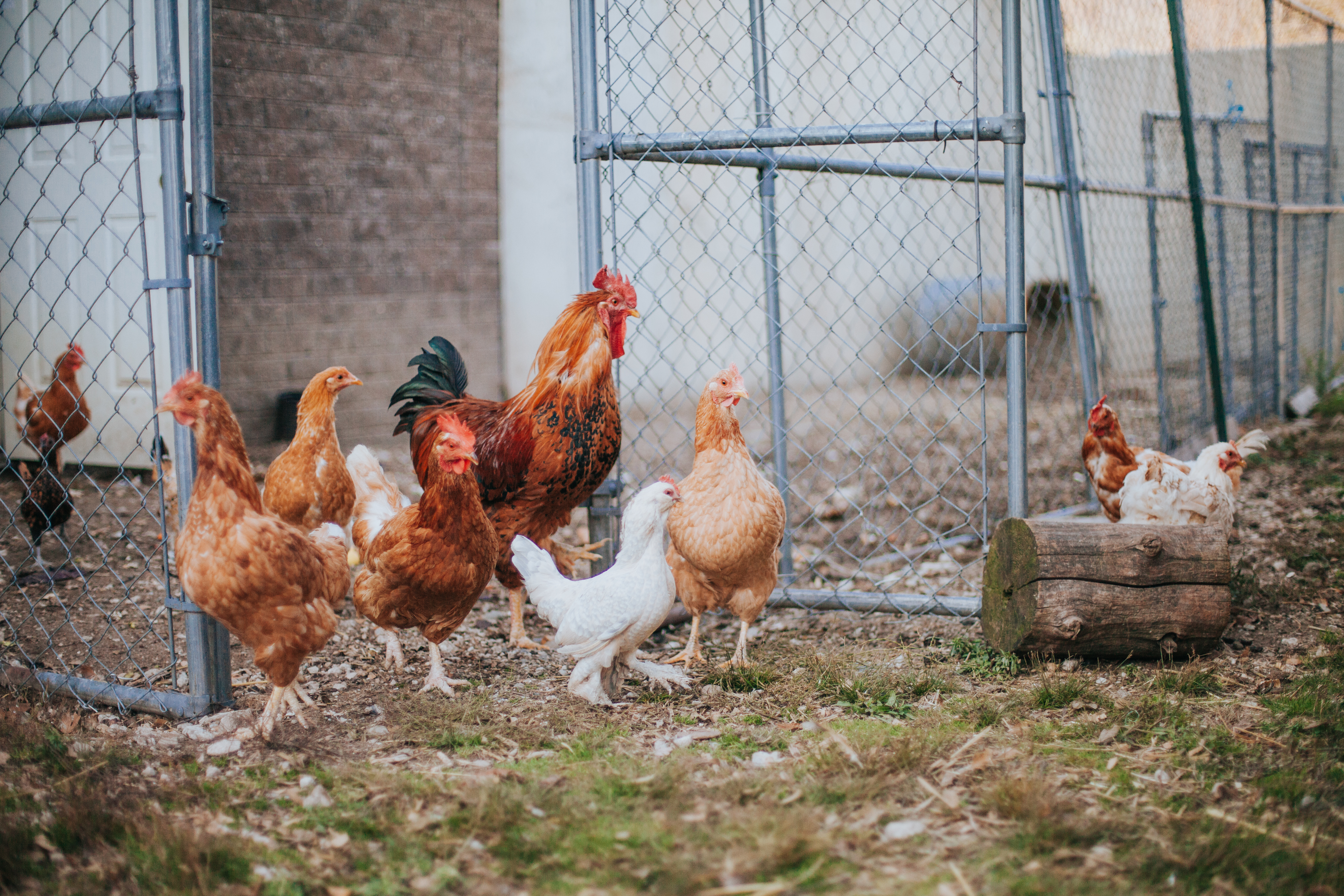 Our Free to Roam Chickens
