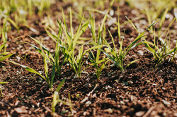 Winter Crops Build the Soil