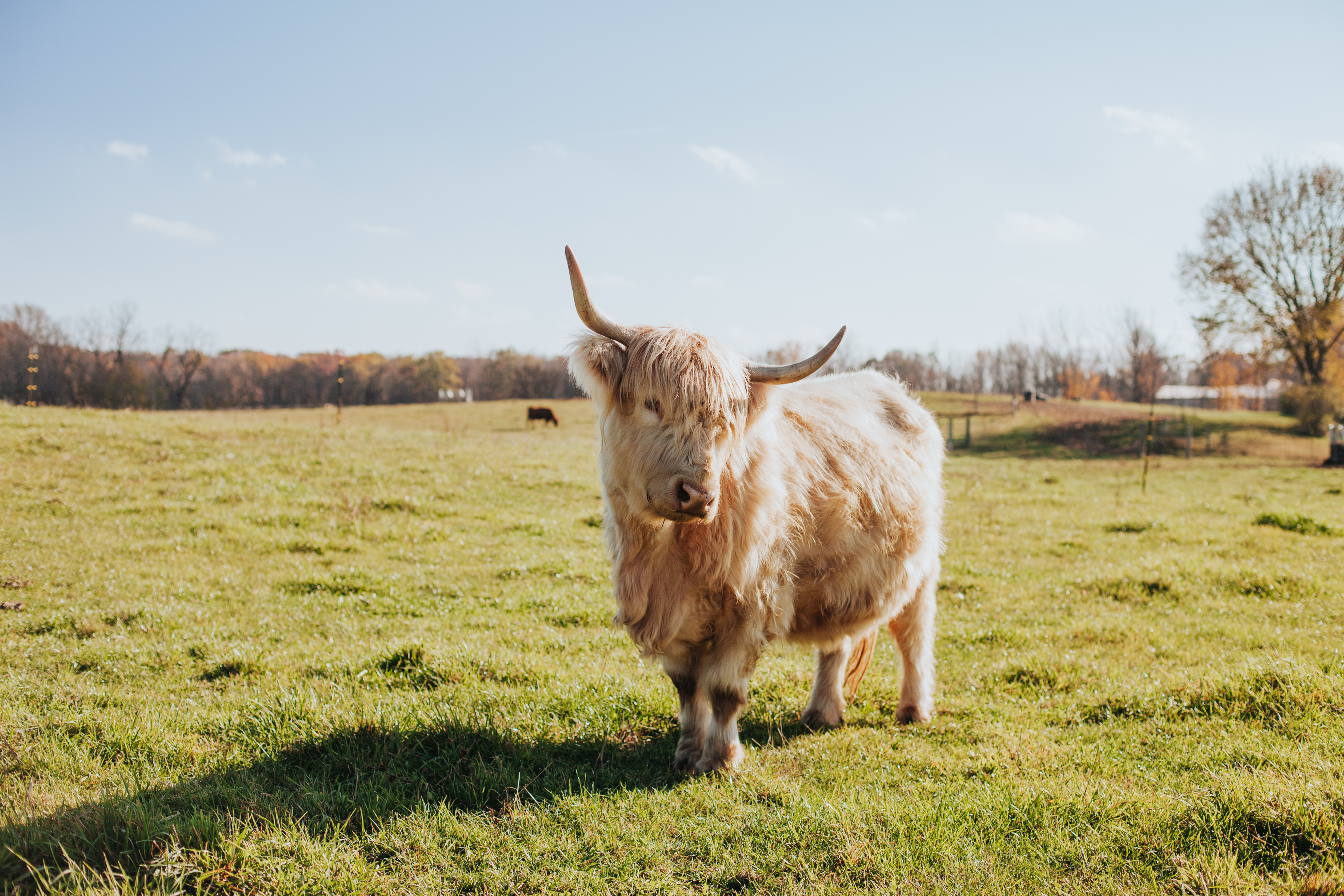 Our Beautiful Highland Cow