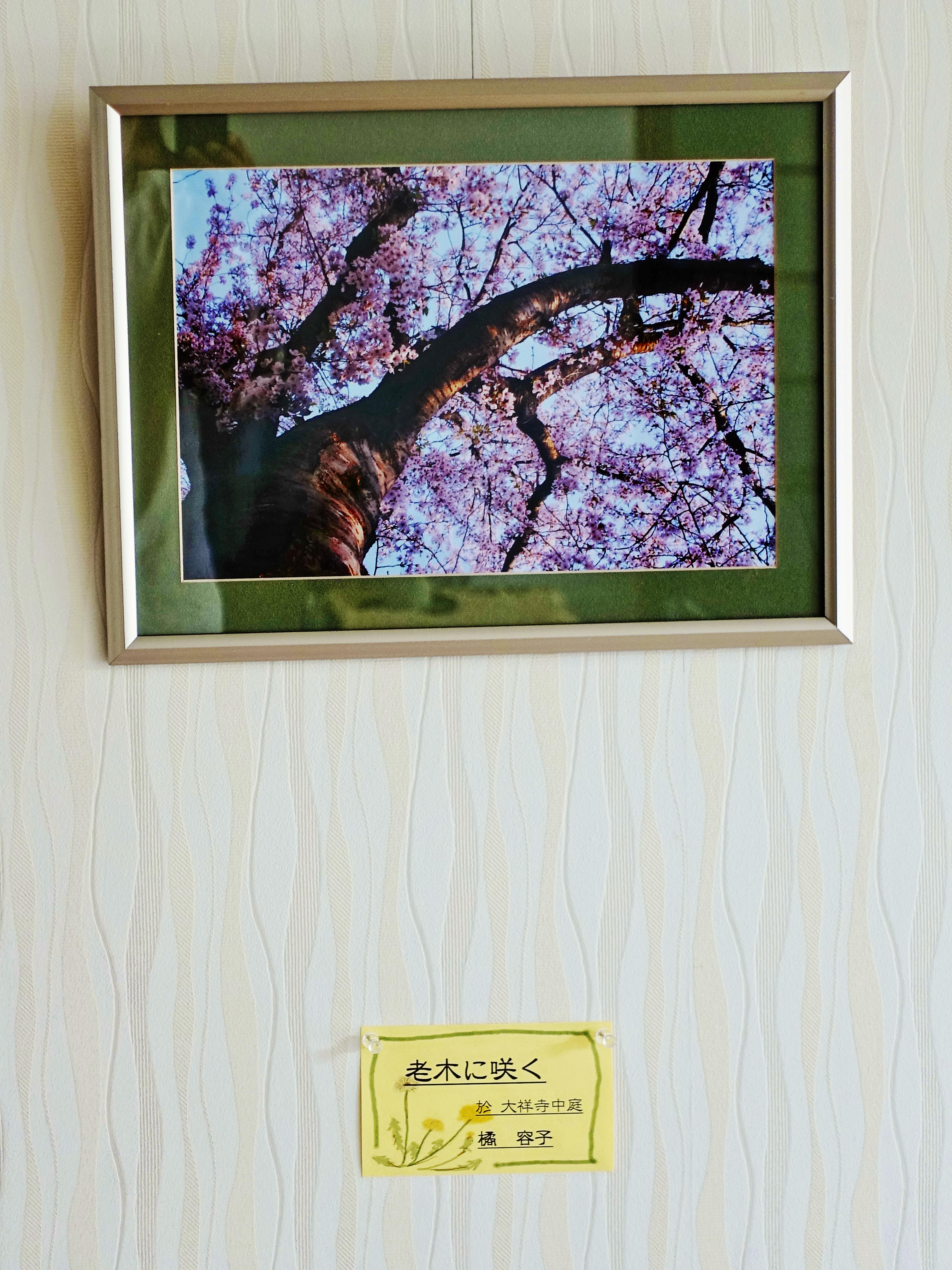 老木に咲く