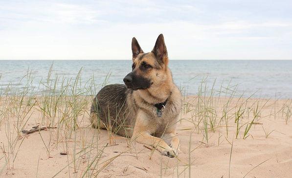 german_shepherd_at_the_beach_by_elvaniel