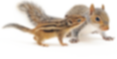 Image of a squirrel and a chipmunk becaue we're nut for graphic design at Newsun Design