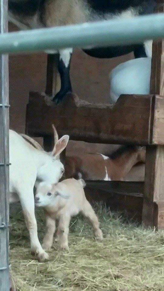 LaPorte Farms Baby Goat5