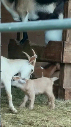 LaPorte Farms Baby Goat3