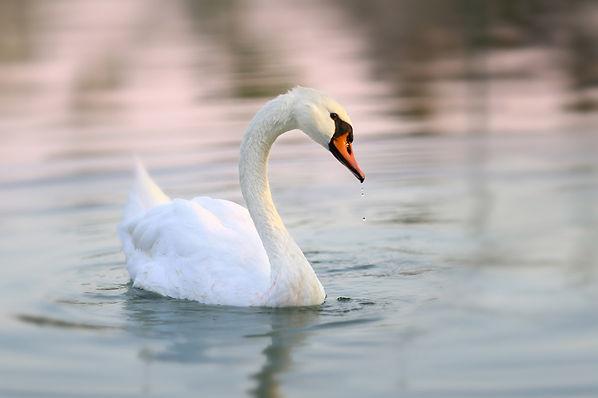 אגם הברבורים