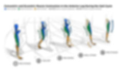 gait, gait cycle, walking, legs, leg muces, anterior, adobe illustrator, track, contractions
