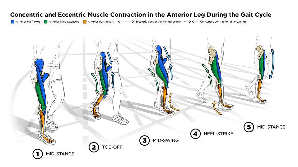 gait, gait cycle, walking, legs, leg muces, anterior, adobe illustrator, track, contractions