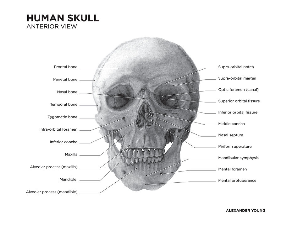 carbon dust, illustration, photshop, adobe photoshop, skull, human, anterior