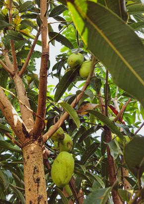 A mango tree near The Saint Joseph Suites