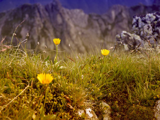 Arnica Montana - the humble mountain daisy