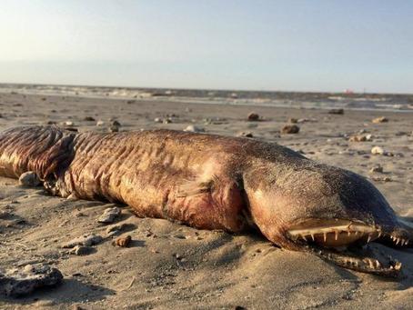 A estranha criatura que deu à costa depois do furacão Harvey é uma enguia