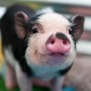 Cultivo de rins humanos em porcos para transplante já é possível