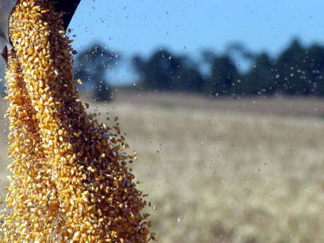 Produção de milho é grande destaque e safra deve ser a 2ª maior da história