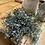 Thumbnail: Blue boxwood orb